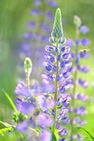 lindas flores de tremoço em um prado foto