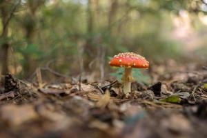 fungos agáricos na floresta, amanita muscaria foto