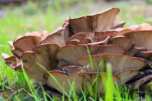 pleuroto de cogumelos foto