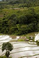 arroz paddy terraço em bali na indonésia