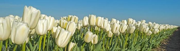 tulipas em um campo na primavera foto