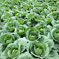 grupo de fazenda de vegetais de repolho foto