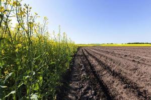 campo de batata. sulco foto