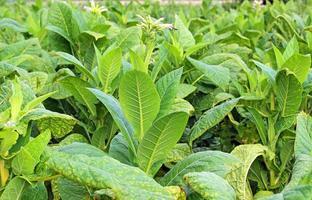 cultivo de tabaco em um campo foto