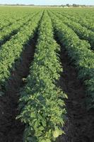 batatas no campo foto