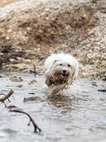 cão branco coton de tulear jogando ao ar livre foto