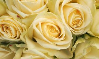 rosas brancas foto