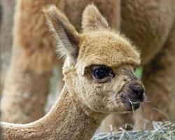 alpaca doce bebê foto