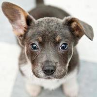 pequeno cachorro fofo olhando para cima foto