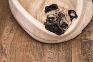 cão pug dorme em seu tapete bege foto