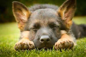 filhote de pastor alemão dormindo