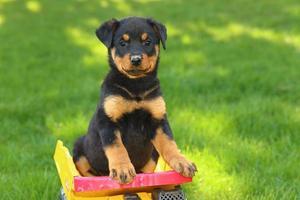 filhote de rottweiler sentado no caminhão de brinquedo foto