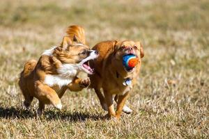 cão de ação com uma bola foto