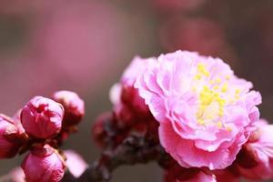 ume flor de ameixa japonesa foto