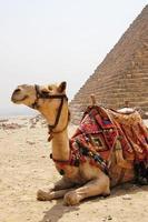 camelo sentado ao lado de uma pirâmide de Gizé.