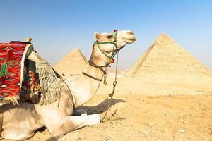 camelo em pirâmides de gizé, cairo, egito.