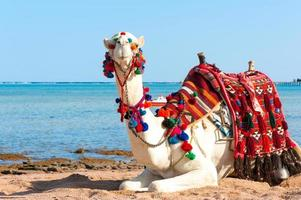 camelo branco descansando na praia egípcia. camelus dromedarius.