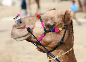 camelo decorado na feira pushkar. Rajastão, Índia. foto