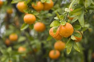 Clementina fresca na árvore foto