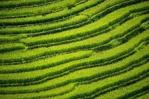 terraço de arroz no Vietnã foto