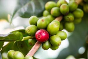 grãos de café, amadurecendo na árvore no norte da Tailândia