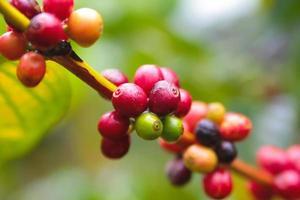 semente do café foto