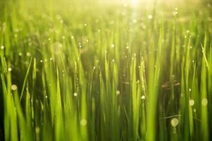 desfocar o campo de arroz em casca no fundo da manhã foto