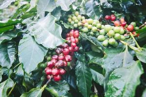 árvore de café com frutos maduros na fazenda.