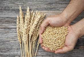 punhado de grãos de trigo foto