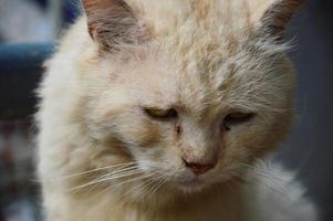 gato persa foto