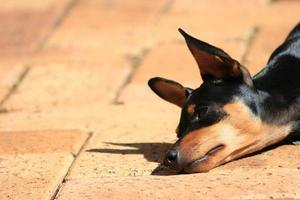 filhote de cachorro sonolento
