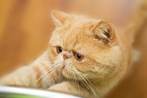 gato britânico bonito do cpa que coça a cadeira foto