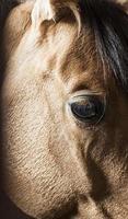 olho de cavalo close-up foto