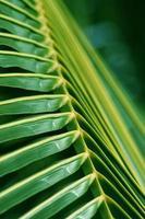 textura de fundo em folha de palmeira
