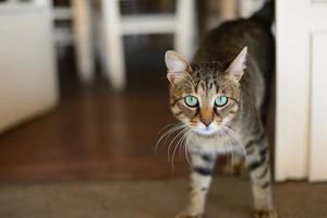 gatinho de olhos verdes, olhando para a câmera foto