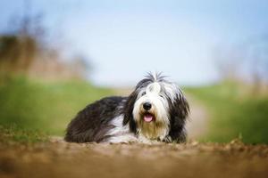 belo divertimento collie barbudo cachorro velho inglês sheepdog filhote de cachorro rela foto
