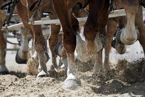 calçar cascos de cavalos em ação foto
