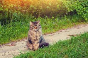 gato siberiano foto