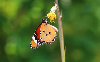 ฺฺ borboleta foto