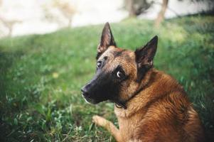 cão pastor belga, retrato foto