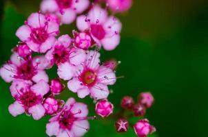 flores de ruibarbo indiano foto