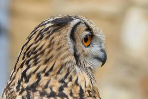 perfil de coruja de águia indiana - buho real de bengala foto