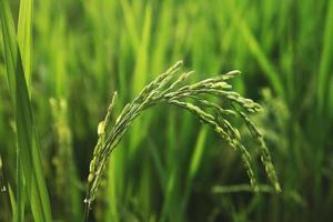 planta de arroz no campo foto