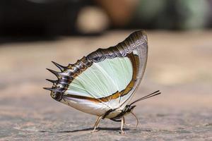 borboleta nawab amarelo indiano foto