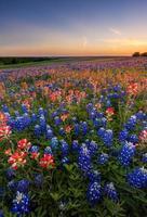 flores silvestres do texas - bluebonnet e campo de pincel indiano ao pôr do sol foto