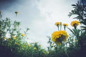 malmequeres ou tagetes erecta flor foto