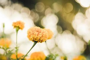 malmequeres ou tagetes erecta flor vintage foto