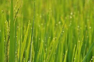 orvalho nas folhas dos campos de arroz foto