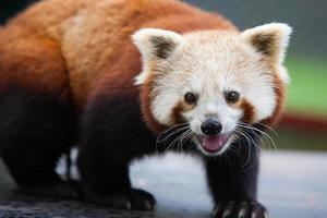 panda vermelho nepalês