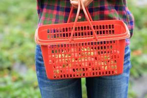 mãos colhendo morango no jardim foto